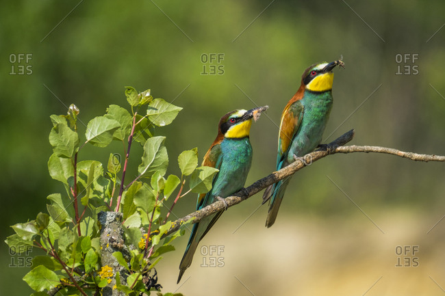 Two colorful birds perched on tree branch with insects in their beaks