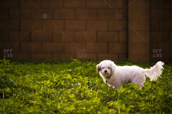 Cute white dog standing in yard