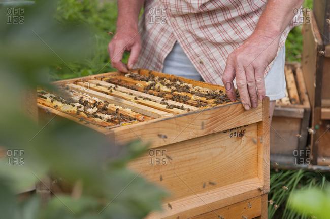 Germany- Beekeeper inspecting beehive