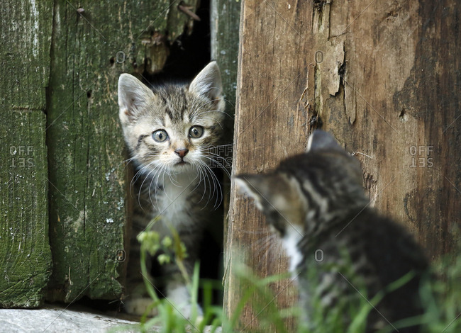 Two tabby kittens- Felis silvestris catus- face to face