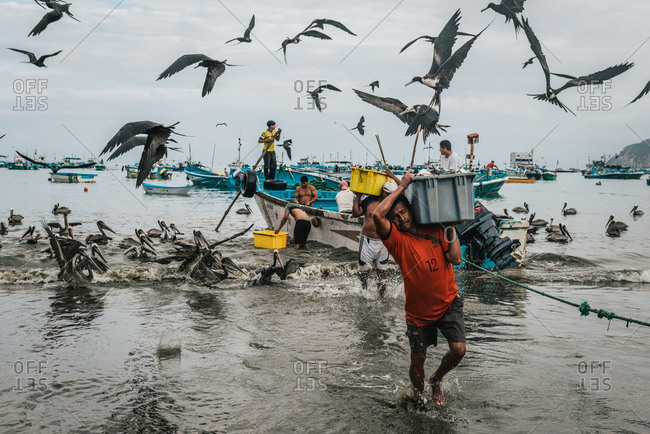 Puerto Lopez, Ecuador - January 10, 2013: Frigate birds dive from the sky for bucket loads of freshly caught fish as local fishermen carry their catch to shore from their boats in Puerto Lopez, Ecuador