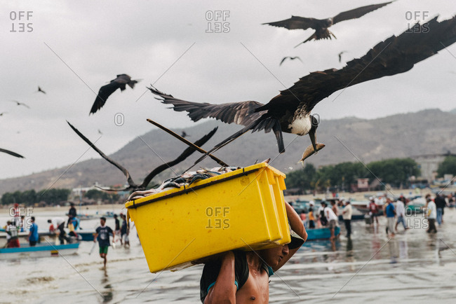 Puerto Lopez, Ecuador - January 10, 2013: Frigate birds dive for the bucket loads of fish local fishermen carry to shore from their boats in Puerto Lopez, Ecuador