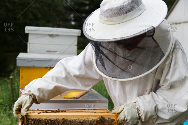Beekeeper looking into hive