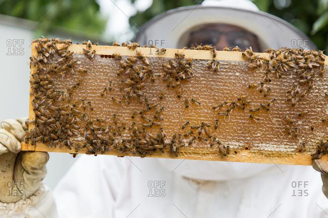 Beekeeper inspecting honeycomb