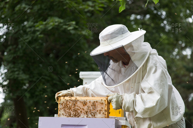 New Jersey, USA - August 25, 2017: Beekeeper inspecting a colony