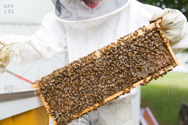 A beekeeper holding up honeycomb