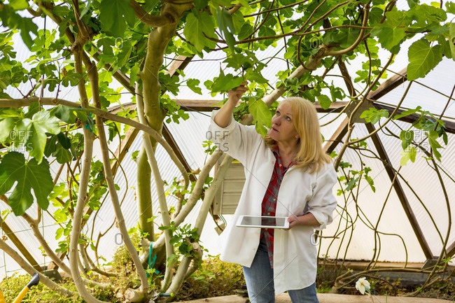 Caucasian scientist using digital tablet in greenhouse