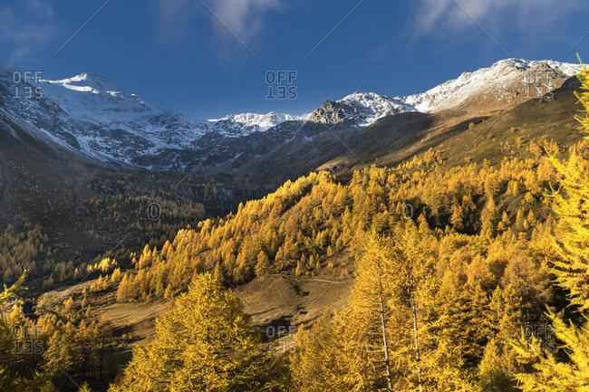 Autumn trees near snow covered mountains