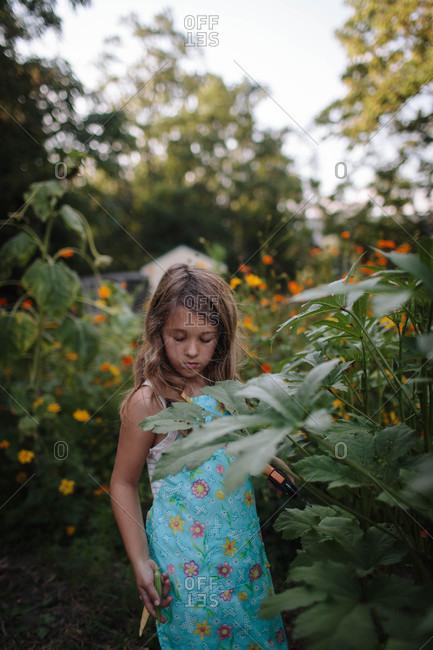 Girl picking okra in garden