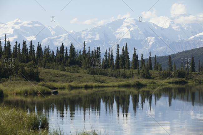 Row of Alpine Fir Trees in Denali National Park