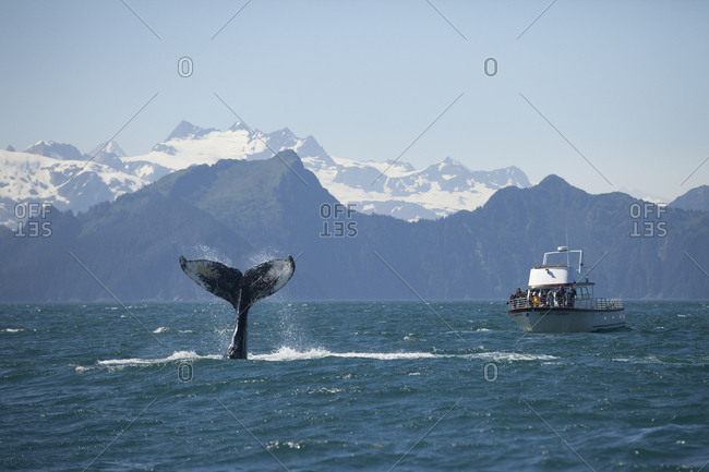 Kenai Fjords National Park, Alaska, USA - June 2016: Humpback whale tail peeks out from the ocean