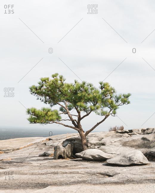 Tree in Stone Mountain Park in Georgia