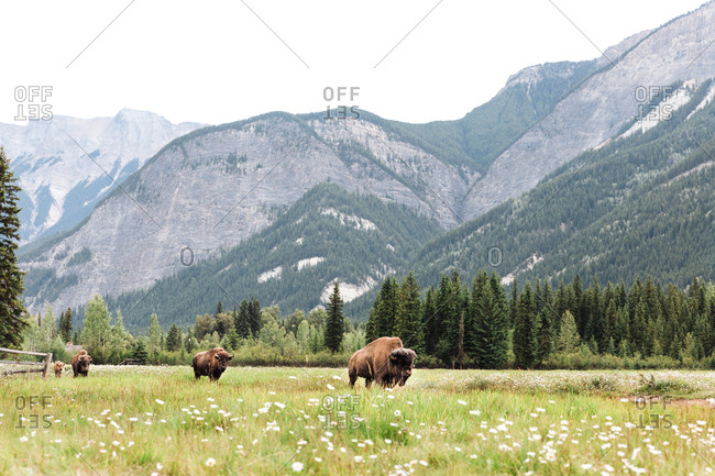 Bison walking through field below mountain