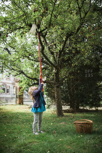 Girl using fruit picker on long pole to harvest apples from tree