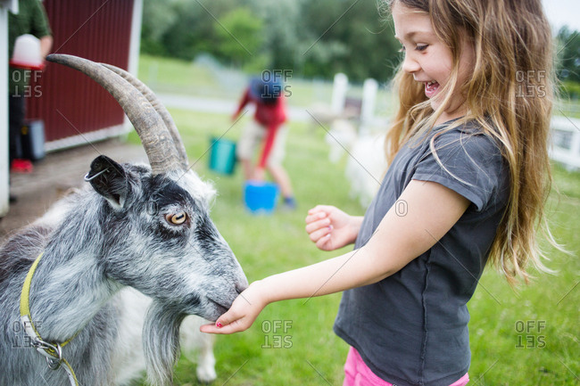 Girl (4-5) feeding gray goat