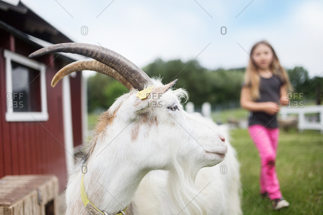 White goat and girl (4-5) in background