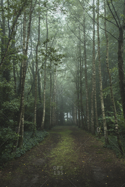 Misty forest lane with birch trees on both sides