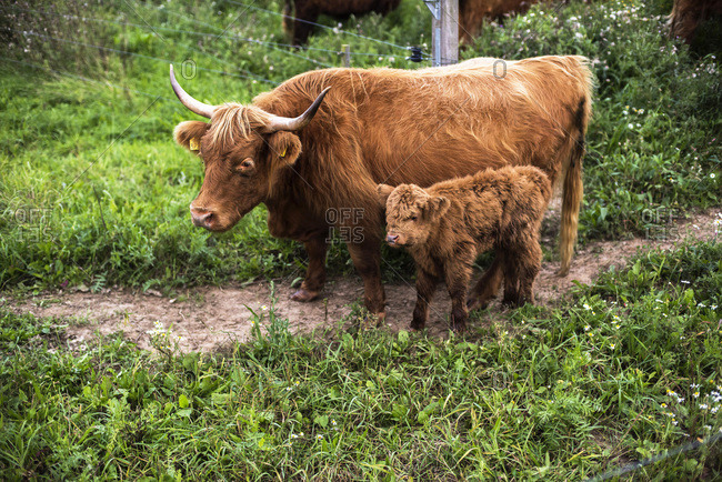 Highland calf standing next to mother cow in field