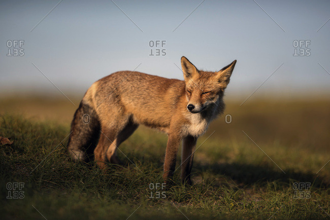 Red fox standing on grass against blue sky
