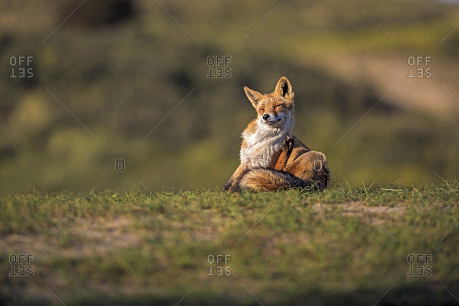Scratching red fox sitting in grass lit by low sunlight