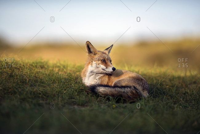 Red fox lying in grass lit by sunlight