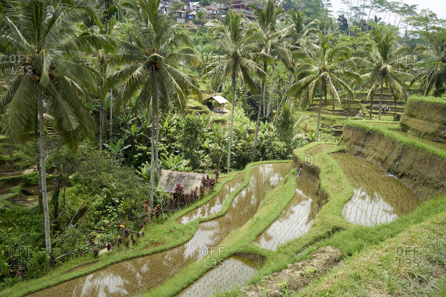 Rice paddies and coconut palm trees at Tegallalang, the most famous rice field terrace of Bali, Indonesia