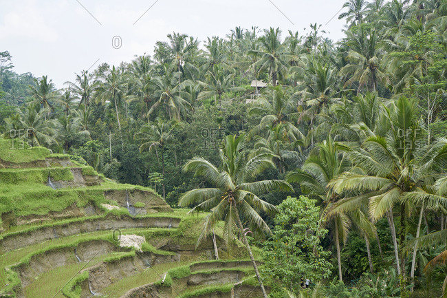 Coconut palm trees and rice paddies at Tegallalang, the most famous rice field terrace of Bali, Indonesia
