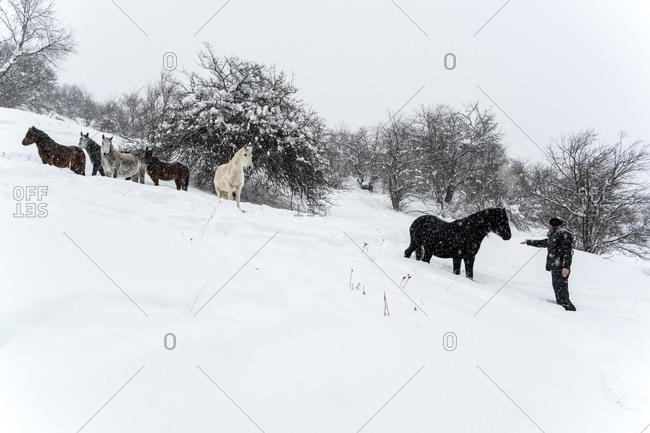 Bulgaria - January 11, 2017: Man feeding a semi-feral horse in the Rhodope Mountains, Bulgaria