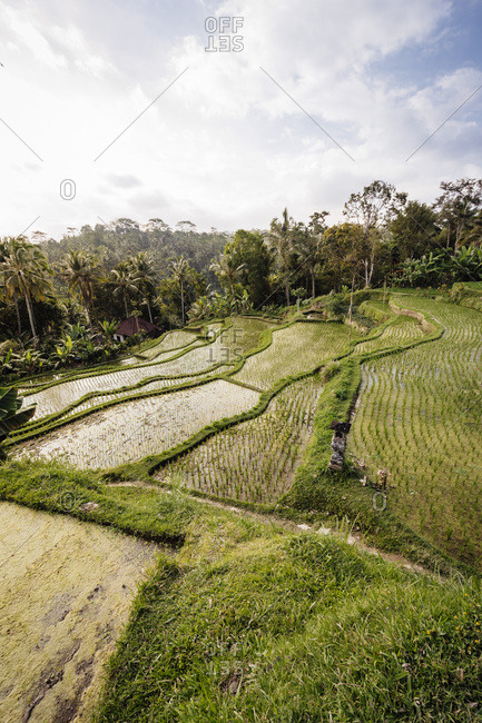 Looking down on flooded rice paddies in Ubud, Indonesia