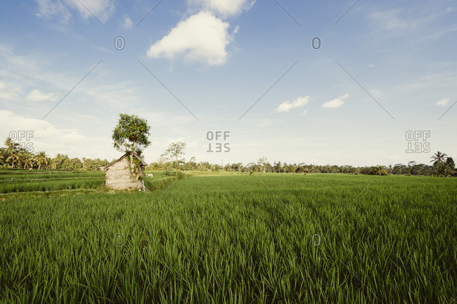 Tree and shack in rice field, Indonesia