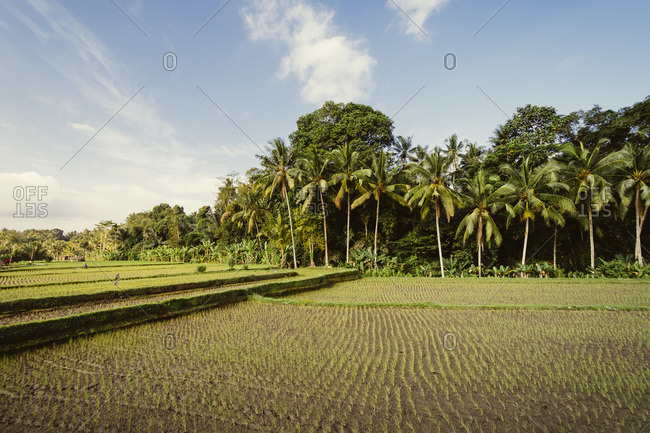 Rice fields in Indonesia