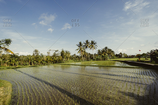 Rice fields in late afternoon sun, Indonesia