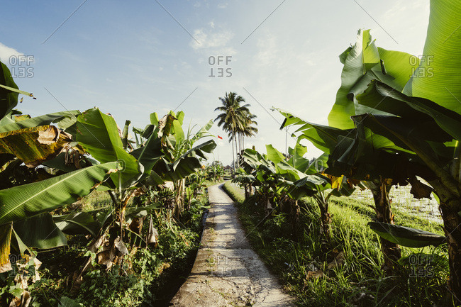 Walkway past banana trees in rice fields, Indonesia