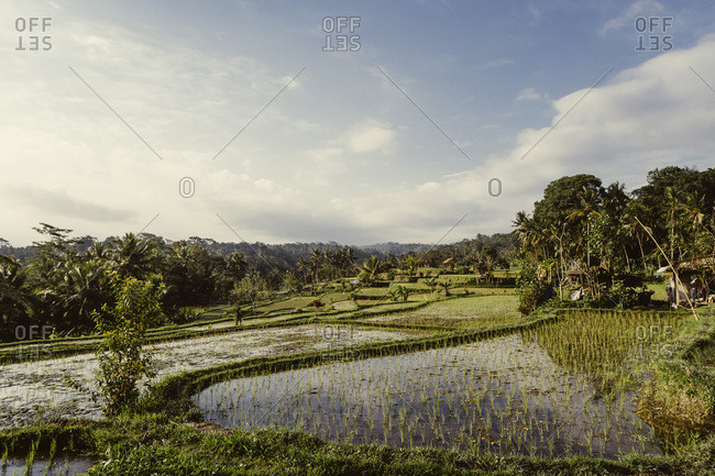 House surrounded by rice fields, Indonesia