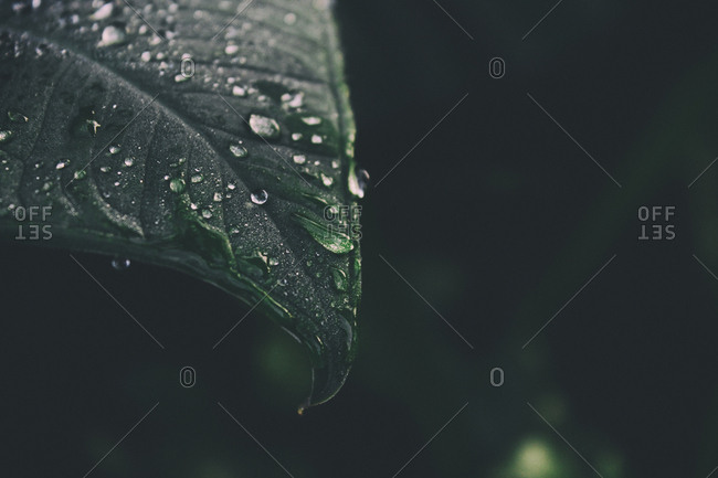 Close-up of water droplets on dark leaf