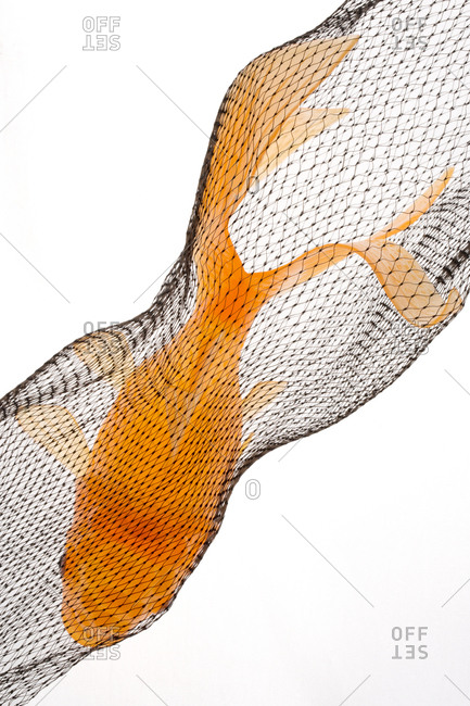 A goldfish in netting