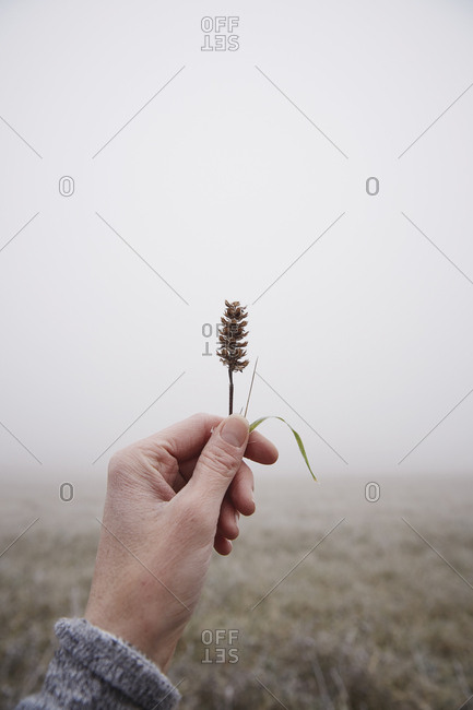 Female hand holds wheat stalk