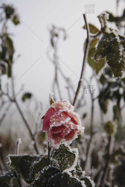 Snow covers a rose in bloom