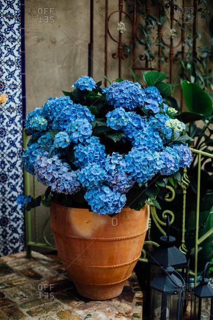 Blue Hydrangea in terra cota pot