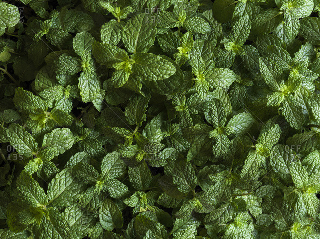 Full bleed shot of mint plants from above