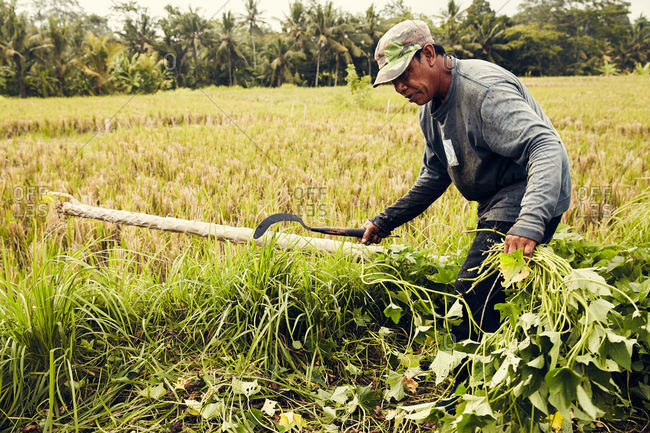 Bali, Indonesia - January 7, 2017: A man chopping at tall grass