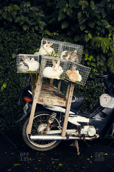 Bali, Indonesia - January 16, 2017: Rabbits in cages on the back of a motorbike