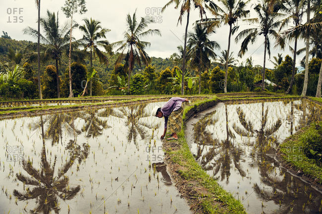 Bali, Indonesia - January 17, 2017: A woman bending in rice field
