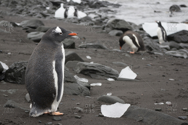 Gentoo Penguins on shore by sea