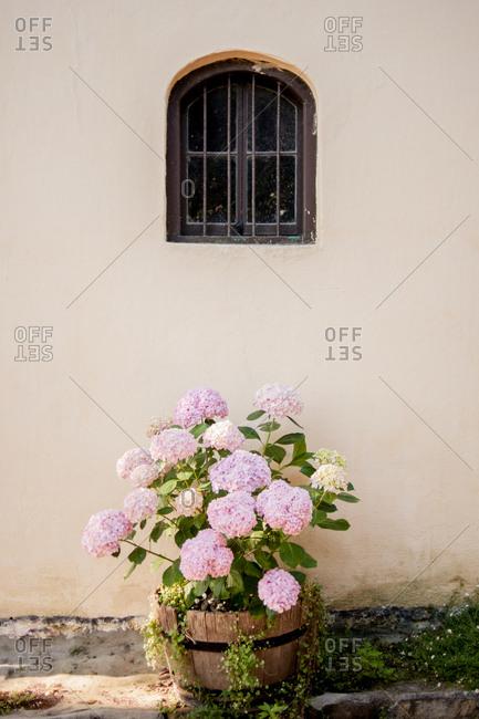Pink hydrangea plant in a barrel planter