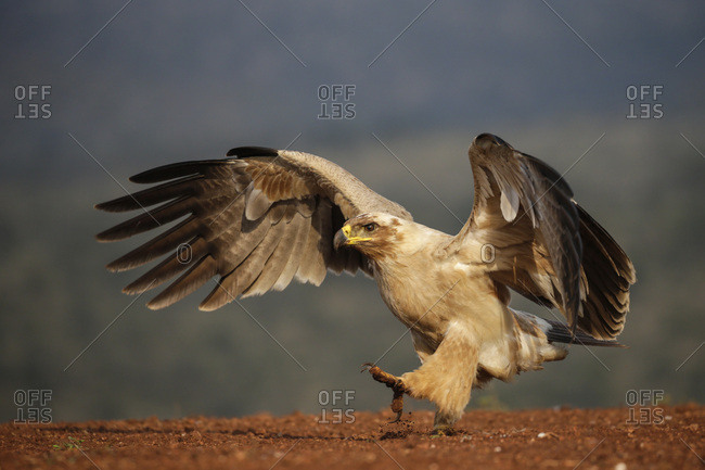 Tawny eagle (Aquila rapax), Zimanga Private Game Reserve, KwaZulu-Natal, South Africa, Africa