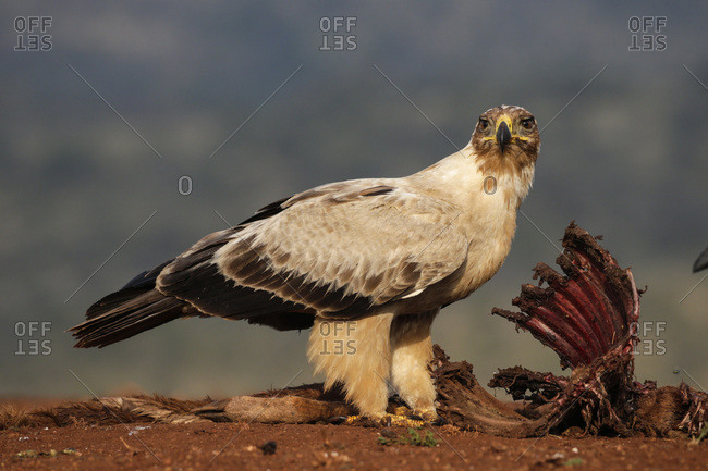 Tawny eagle (Aquila rapax) on carcass, Zimanga Private Game Reserve, KwaZulu-Natal, South Africa, Africa