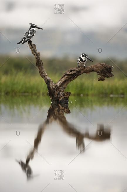 Pied kingfishers (Ceryle rudis), Zimanga Private Game Reserve, KwaZulu-Natal, South Africa, Africa