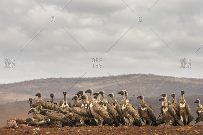 Whitebacked vultures (Gyps africanus) feeding, Zimanga Private Game Reserve, KwaZulu-Natal, South Africa, Africa
