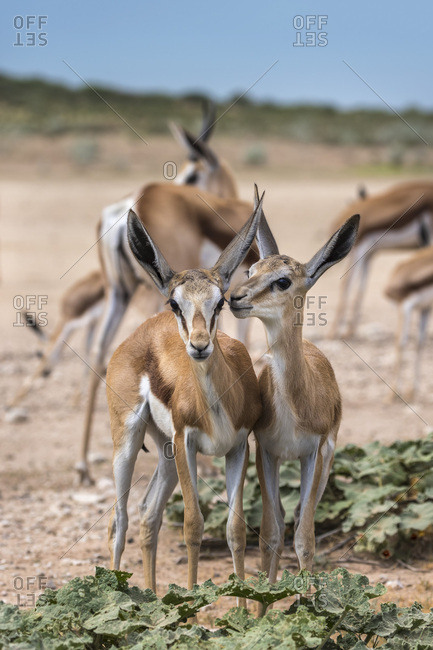 Springbok (Antidorcas marsupialis) young, Kgalagadi Transfrontier Park, Northern Cape, South Africa, Africa